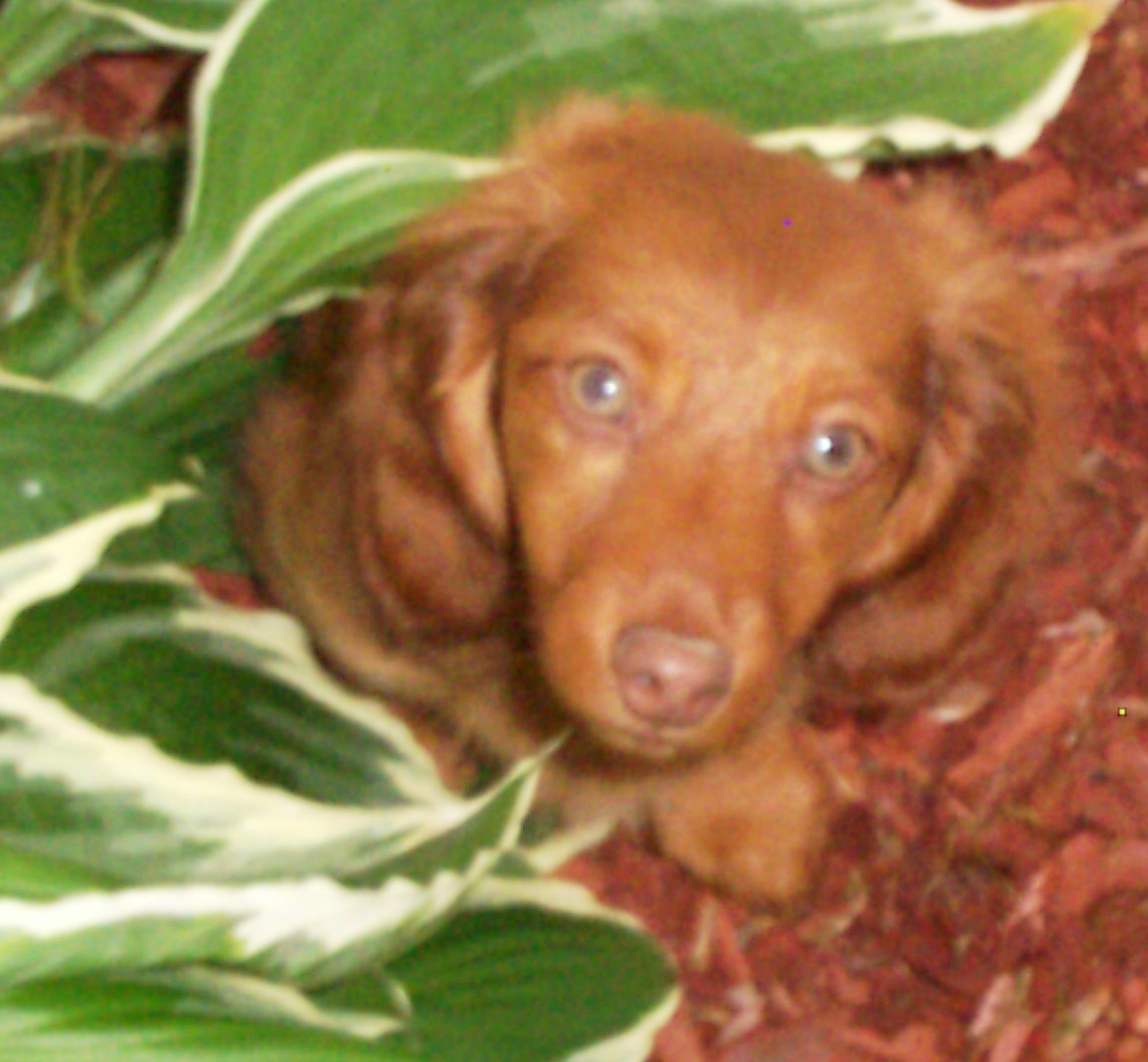 red dachshunds cams dachshunds 716 7532439